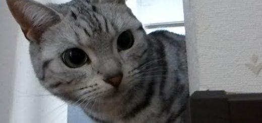 ジェラシ~。猫の鳴き声アプリに嫉妬する猫