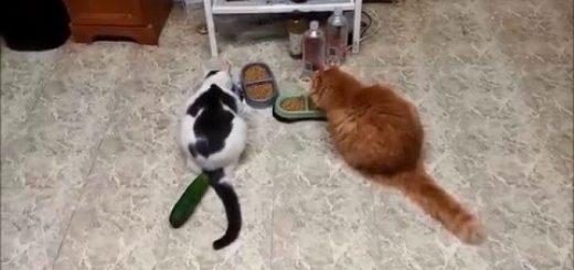 キュウリは猫の天敵?!飛び上がる程怖いきゅうり