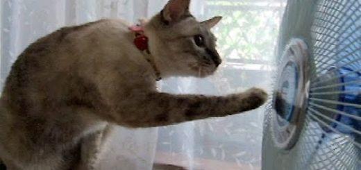目が回る~!扇風機に合わせてつい顔が回ってしまう猫