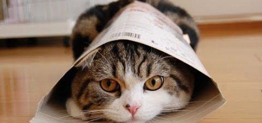 君は知ってる?箱を愛して止まないことで有名な猫「まる」