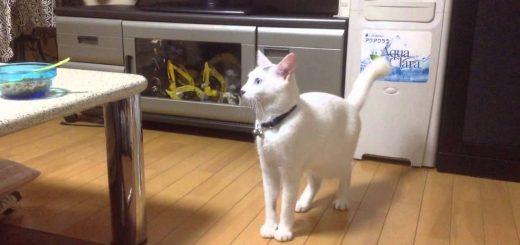 面白猫ちゃんの背筋ピーン!人間のように真っすぐ立つ