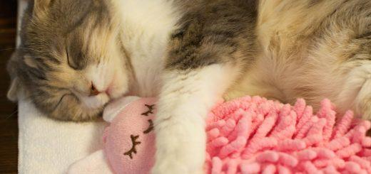お気に入りの人形をギュッと抱きしめて眠る猫