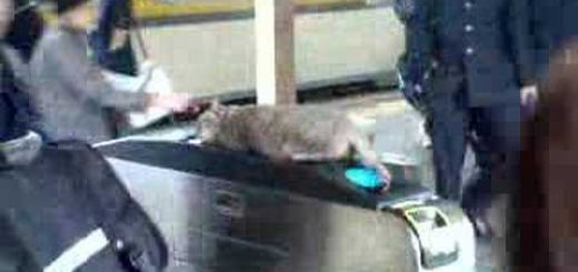 誰が通ろうとおかまいなし!改札機の上でお昼寝する猫