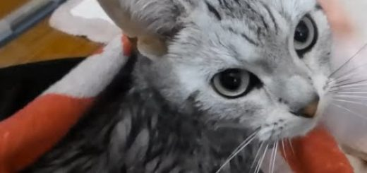 「僕怖かった…」お風呂が大嫌いで弱気になっちゃう猫