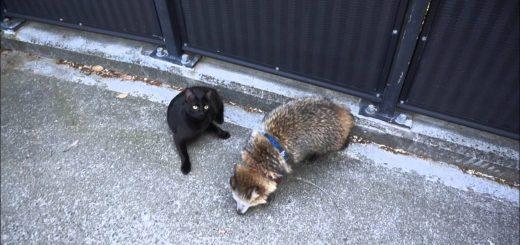 両者一歩も譲らない!タヌキと猫の意地の張り合い