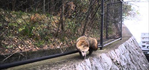 「どいたどいた~!」狸の上を高速飛行する猫!