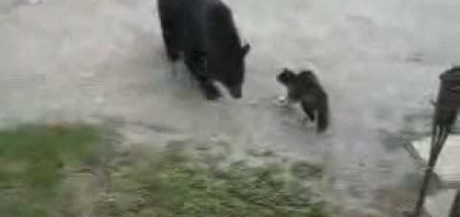 家族のピンチに立ち上がれ!熊に勇敢に立ち向かうヒーロー