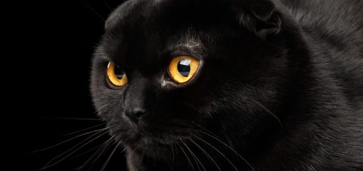 Closeup Head of Black Scottish Fold Cat with Yellow eyes Isolated on Black Background