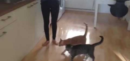 伸身伸足シッポは直立、猫跳び失敗笑いを誘う