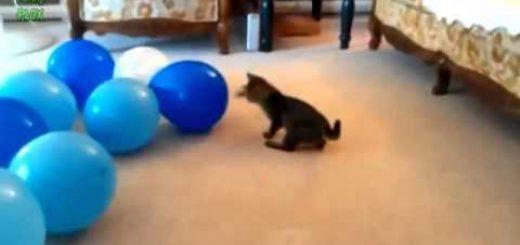 猫ちゃんVSボール!! その名のとおりボールと 格闘する猫ちゃん