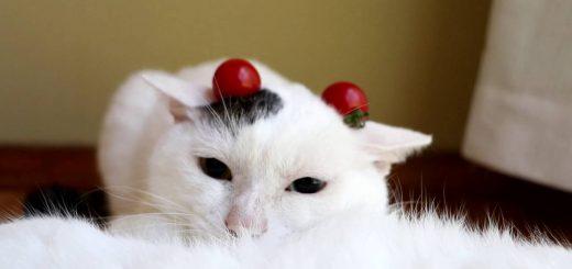 白黒の頭に二粒ミニトマト、猫は眠たげ顎を埋めて