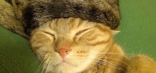猫専用のロシア帽、被って眠って茶トラは白眼に