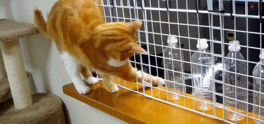 そんな事したって無駄だぜ!柵を付けて入れなくなっている 台所に置いてあるペットボトルを次々に倒してしまう猫ちゃん!