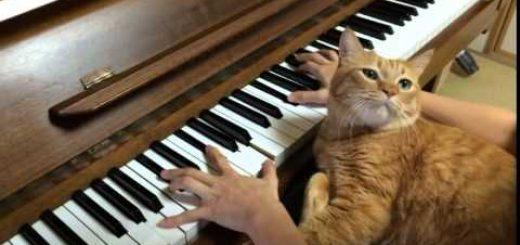 ピアノが鳴ると飛び乗る茶猫、脚出し顔載せ演奏に参加