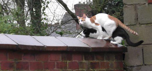 重なって困惑顔の猫二匹、ジャンプの瞬間まさかのシンクロ