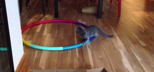 猫の遊びにフラフープ、床にあるのに駆け回り