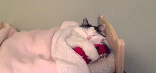 ベッドの布団で眠る猫、カメラに起こされそのまま二度寝