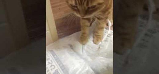 伸び上がり勢いつけて茶縞猫、敵のように米を搗き