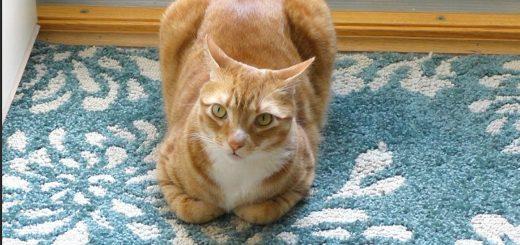寝転びも威嚇の姿もあのパンに、猫形態論に新説登場