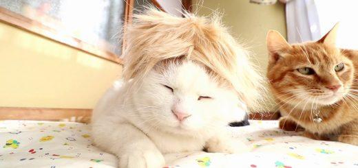 茶髪のカツラを頭に載せた猫、どこかの誰かに見えてくる