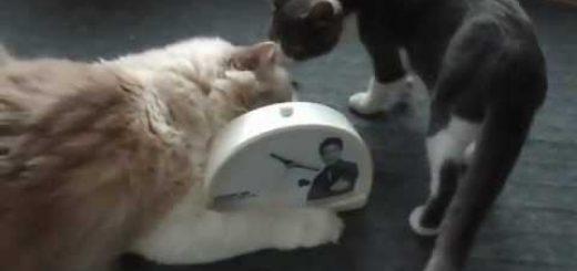 往年のアイドルの声の目覚ましに、猫が集まるわらわらと