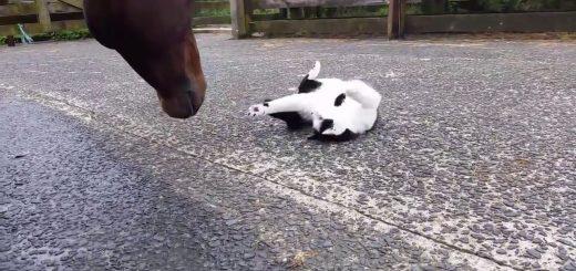 お馬と仲良し白黒猫、腹見せ伸び伸び愛され放題