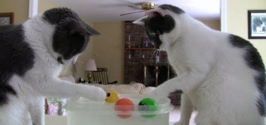 2匹の猫のウォーターサッカー、ネズミのボールの争奪戦