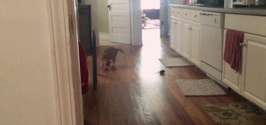 盲目の猫との上手な遊び方、音鳴るオモチャで「取ってこい」