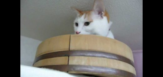 天井近くの猫の隠れ家、見下ろせ落ちつく絶妙な狭さ