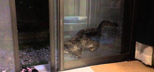 網戸に手を掛け眠る猫、何度落ちても元の姿勢に