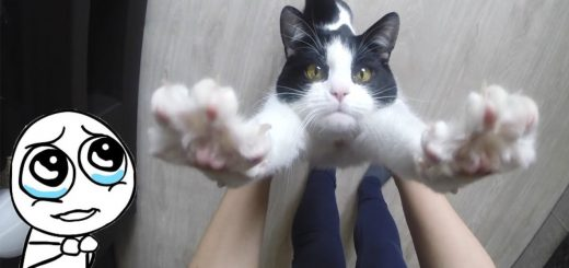 遊びたい白黒猫の粘り勝ち、跳び乗り顔舐め躙り寄り