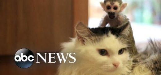 育児放棄の猿の赤子を背負う猫、親の代わりにぬくもり与え