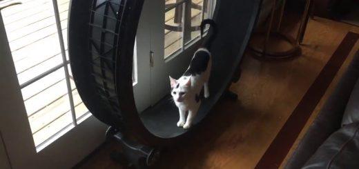 意気揚々と回転車で走る猫、人には見せるが猫には見せぬ