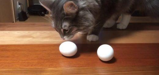モフモフのお腹で抱いて温めて、猫の温もり卵に伝わる