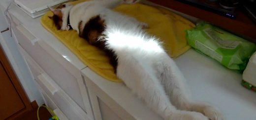 後脚伸ばして転た寝する猫、寝返りととも落ちて見切れて