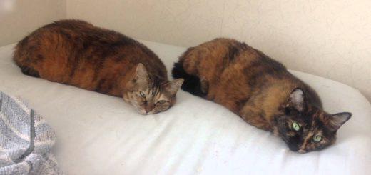シンクロ添い寝の芋虫猫、じっと動かず目でものを言い