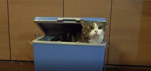 鼻先でこじ開け箱に雲隠れ、開けられぬ猫は人に目配せ