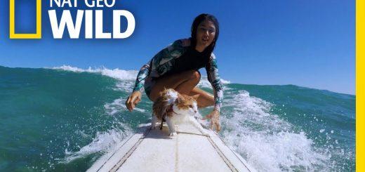 泳ぎも達者な波乗り猫、背中もボードも乗りこなす