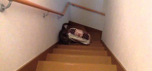 階段をベッドを咥えて上がる猫、まさかのトラブルに鳴き声あげる