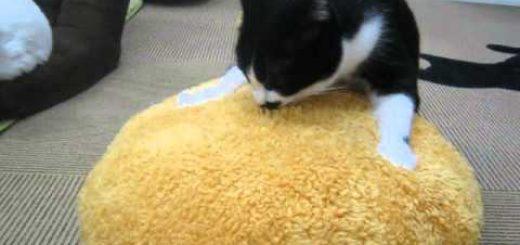 特大の猫用コロッケに抱きつく猫、譲らず渡さず独り占め