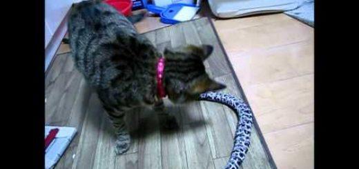安全なガラガラヘビと遊ぶ猫、ひっくり返して車輪が露わに