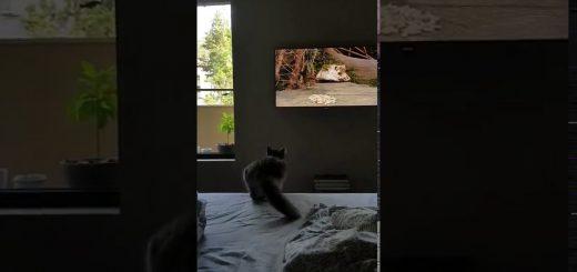 液晶へ迷わず飛び込む勇ましき猫、画面に激突そのまま落下