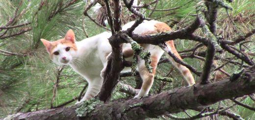 木の上の猫の救出動画集、登ってなだめて誘導し