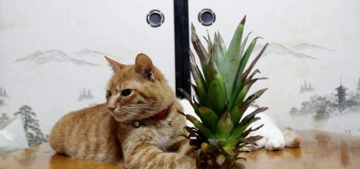 夏の名残にパインを載せて、目覚めとともに困惑する猫