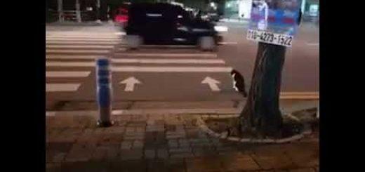 横断歩道を渡る猫、青信号をお座りして待ち