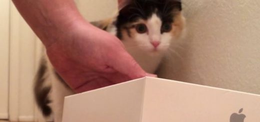 三毛猫 vs Apple Watch、ベルトを外して転がし遊ぶ
