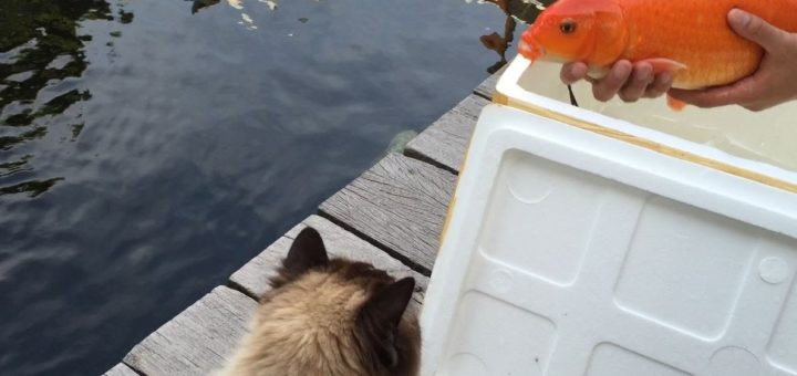 鯉たちに肉球タッチで触れあう猫、次から次へと鯉が殺到