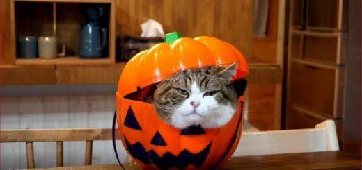 カボチャのオバケの中から出る猫、元に戻るも蓋は閉まらず