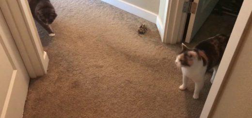 7日ぶり出迎え2匹の塩対応、警戒する猫あくびをする猫