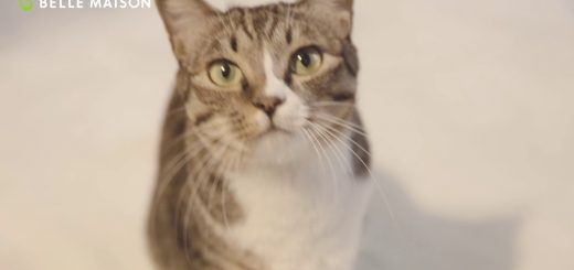 保護猫の感覚活用販促動画、毛布にとろける猫たちの顔